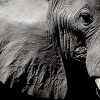African Wars and the Politics of Ivory